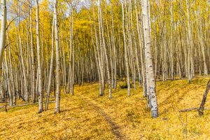 Trail through the aspens